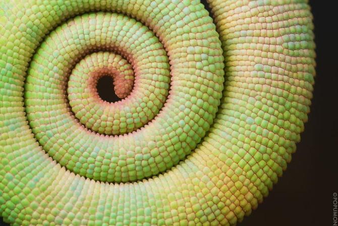 chameleon-tail_670