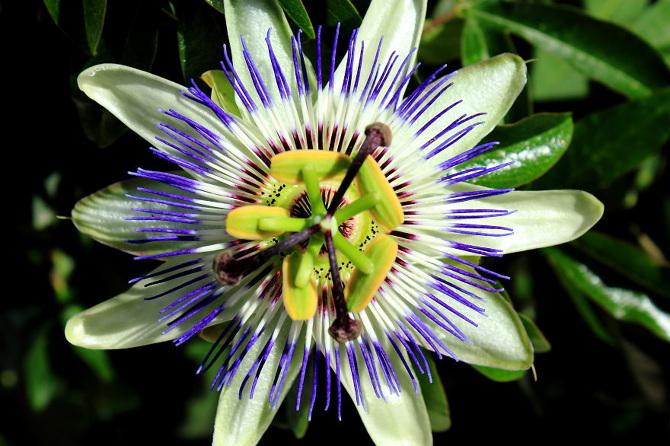 passiflora-caerulea_670