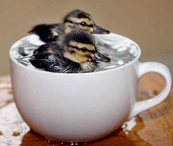 baby-duck__700
