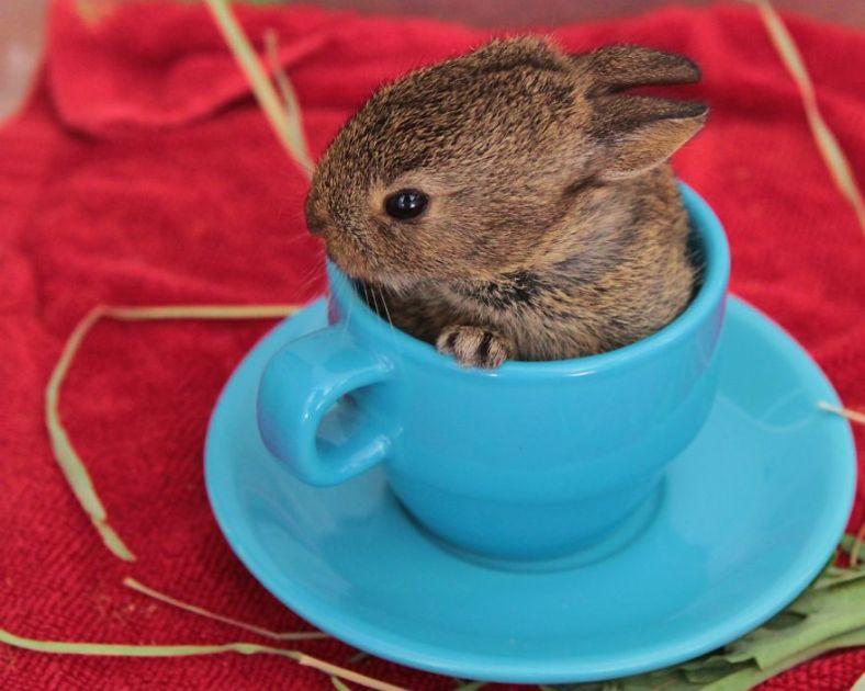 teacup-bunny__880