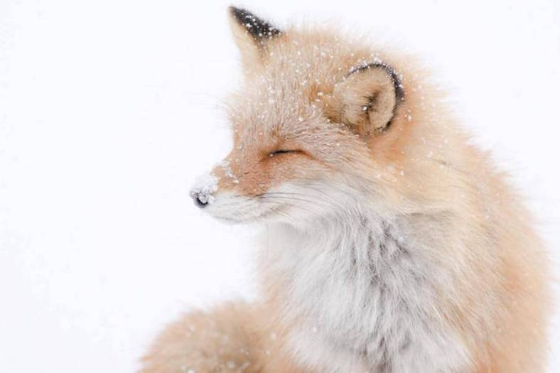 foxes-photography-in-hokkaido-1-900x600
