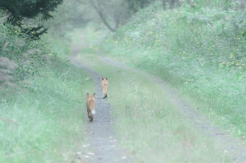 foxes-photography-in-hokkaido-10-900x599