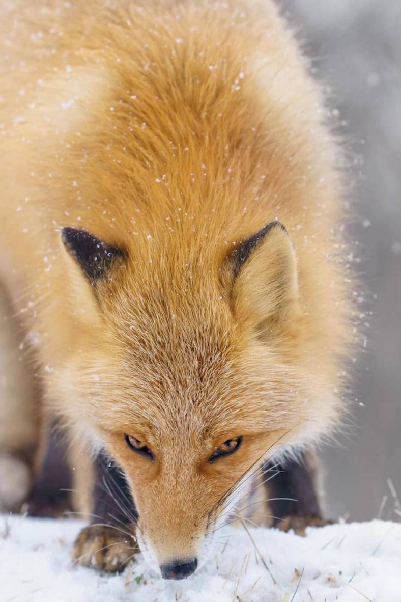 foxes-photography-in-hokkaido-11-900x1351