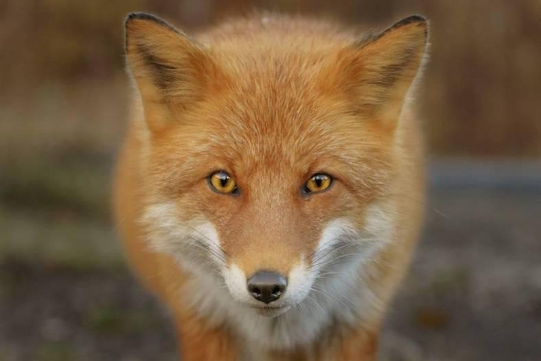 foxes-photography-in-hokkaido-2-900x600