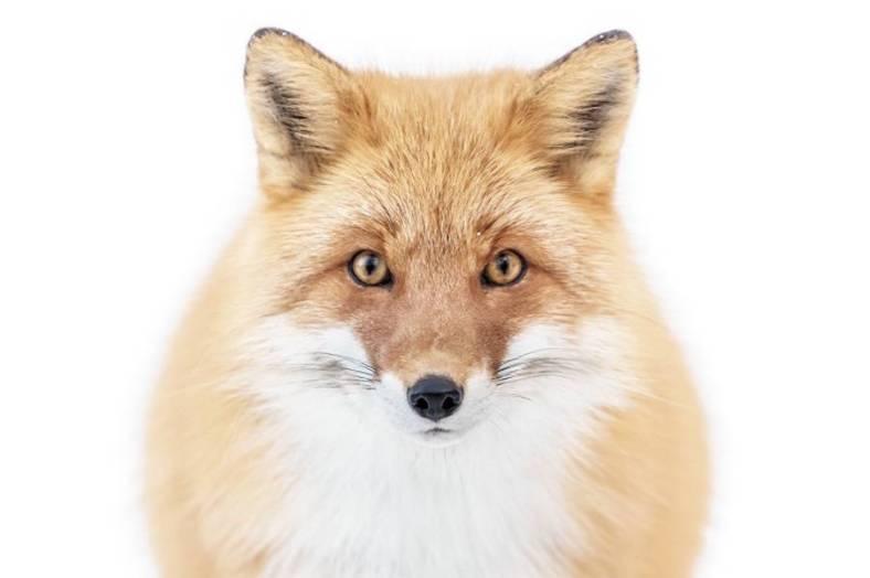 foxes-photography-in-hokkaido-3-900x599