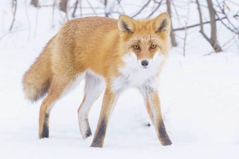 foxes-photography-in-hokkaido-5-900x600