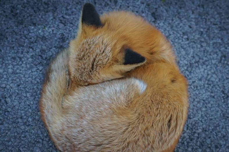 foxes-photography-in-hokkaido-9-900x599