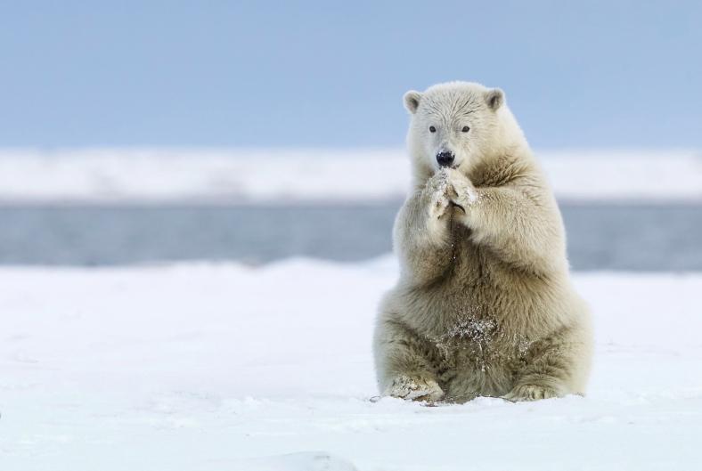 Praying Polar bear