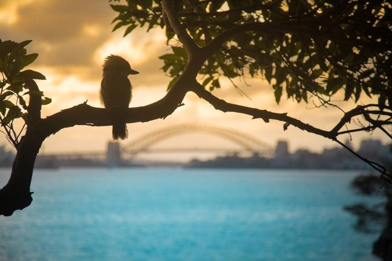 The Kookaburra